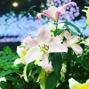 Oh how I love this shot! Truth be told, I borrowed Le Boyfriend's #iphonex for several shots for special effects. The blurry background full of #blue lighting contrasts so well with the #pink #lilies. . . . . #singaporelife #flowers_andlife #flowers🌸 #gardensbythebay #flowerstagram #flowerlovers #photography #botanics #igsg #igsglobal #throwback #tbt #evening_time #clozette