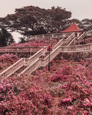 We don't have cherry blossoms but we have #Bougainvillea 🌸🌸🌸 . And like the cherry blossoms, bougainvillea have blooming seasons too! Their blooming season is after the dry spell in April and August . #EstherwandersxSingapore #telokblangahhillpark #telokblangahhill
